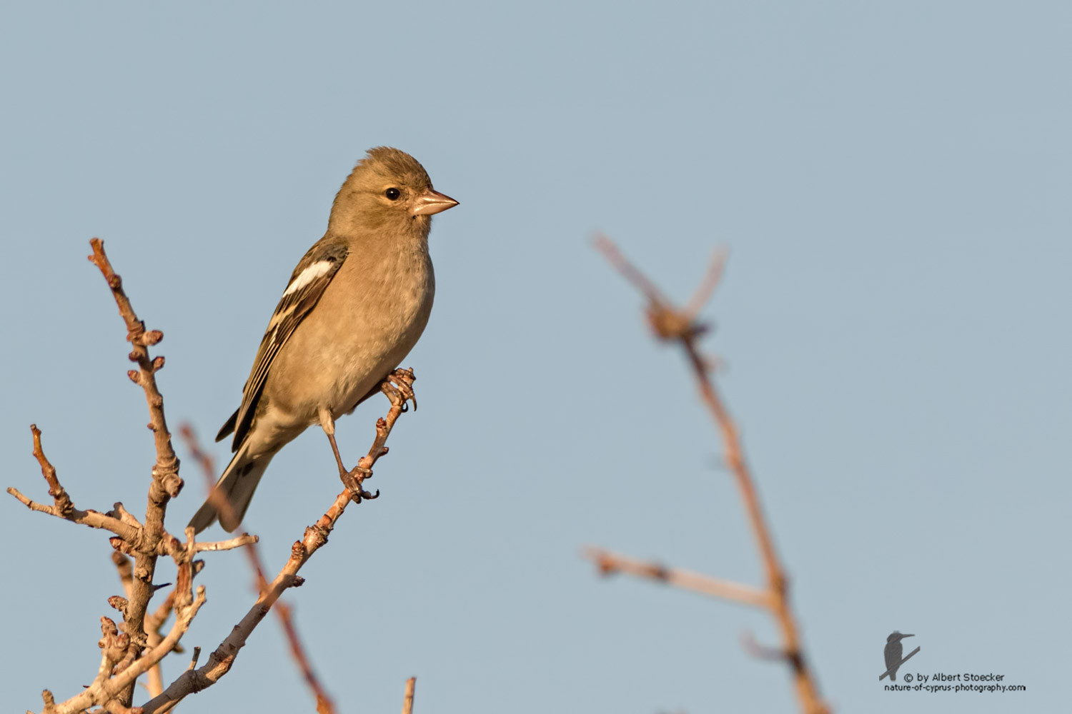 Fringilla coelebs - Common Chaffinch - Buchfink, Cyprus, Anarita Park, January 2016