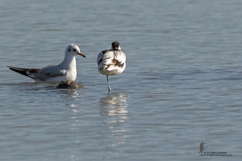 Recurvirostra avosetta - Pied Avocat - Säbelschnäbler, Cyprus, Akrotiri - Zakaki, January 2016