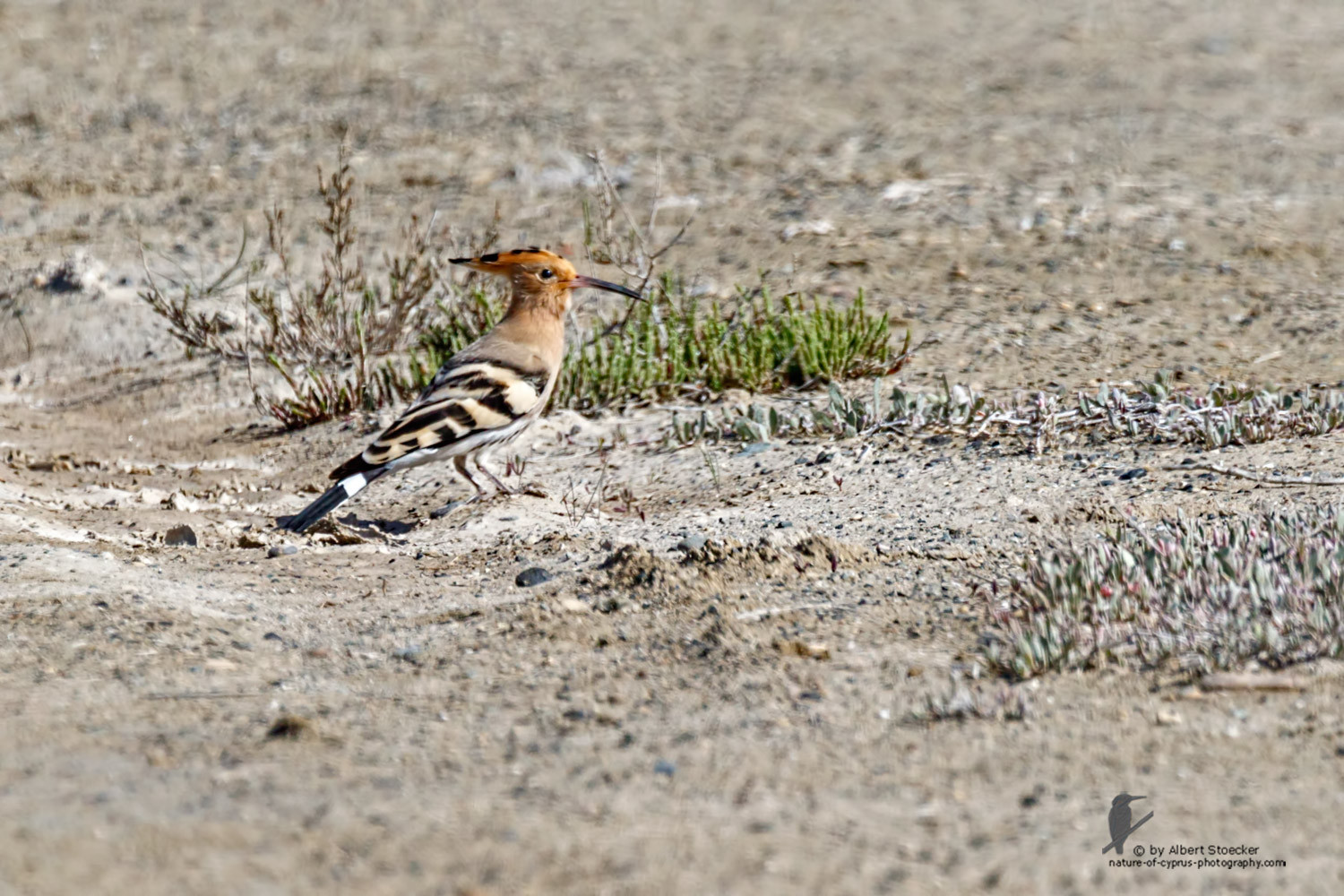 Upupa epops - Hoopoe - Wiedehopf, Cyprus, Zakai Marsh, March 2016