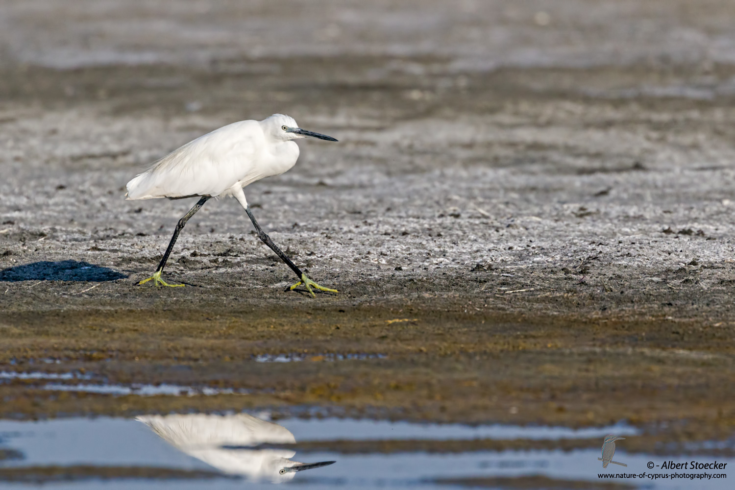 Seidenreiher, Little Egret, Egretta Garzetta, Cyprus, Akrotiri Salt Lake, September 2017