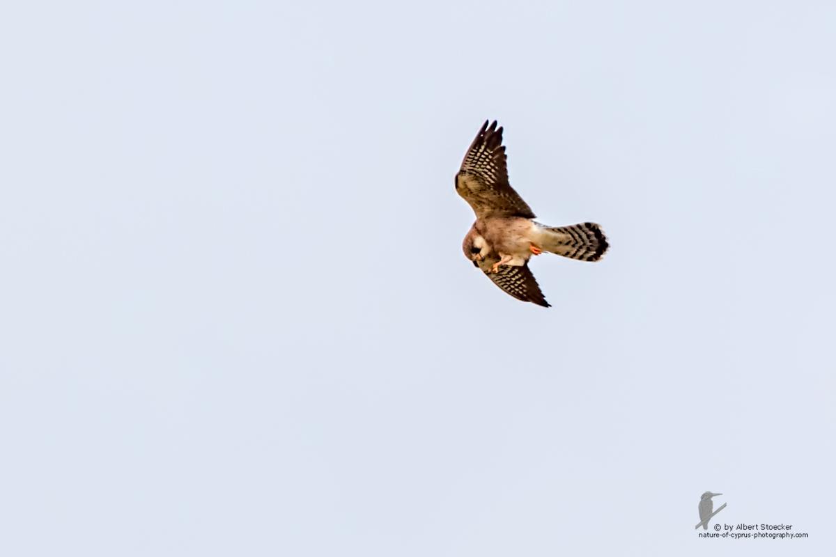 Falco vespertinus - Red-footed Falcon, female, Rotfußfalke, Cyprus, Agia Varvara-Anarita, Mai 2016