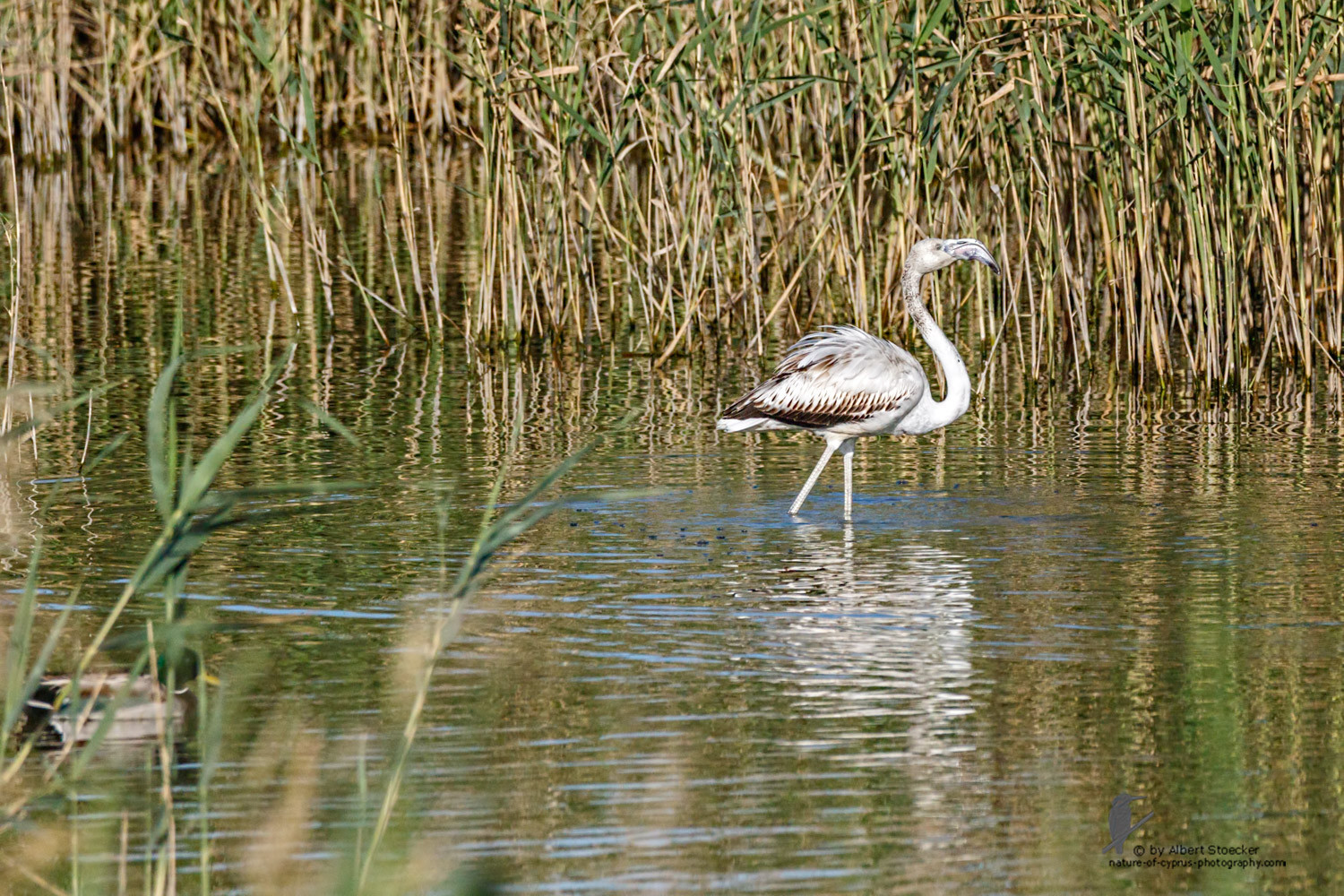 Phoenicopterus ruber - Greater Flamingo (juvenile) - Rosaflamingo, Cyprus, Zakai Marsh, March 2016
