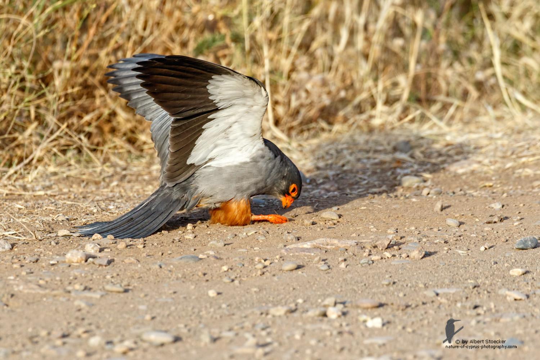 Falco amurensis - Amur falcon with Skorpion - Amurfalke mit Skorpion, Cyprus, Agia Varvara - Anarita, Paphos, Mai 2016