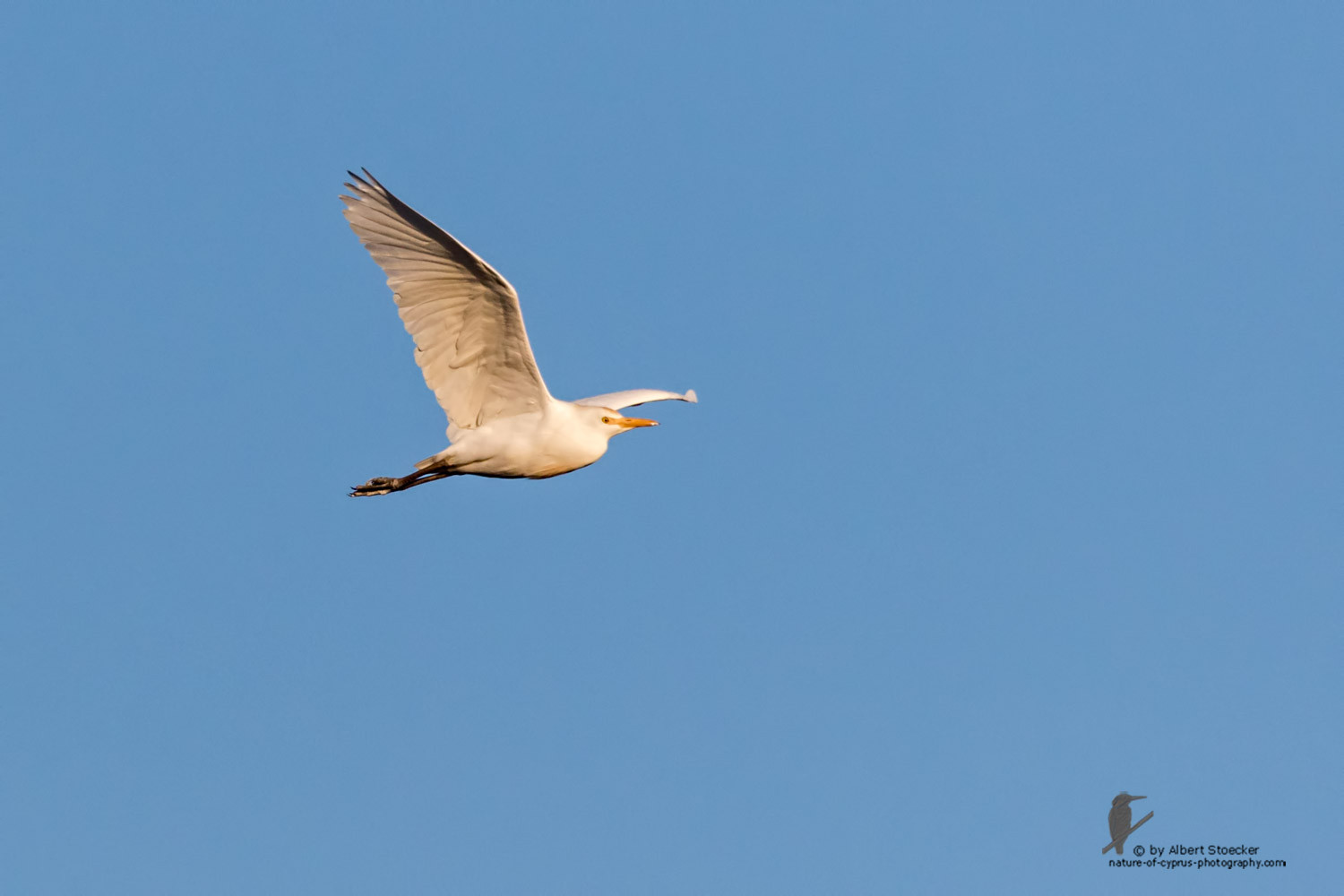 Bubulcus ibis - Cattle Egret - Kuhreiher, Cyprus, Oroklini Lake, January 2016