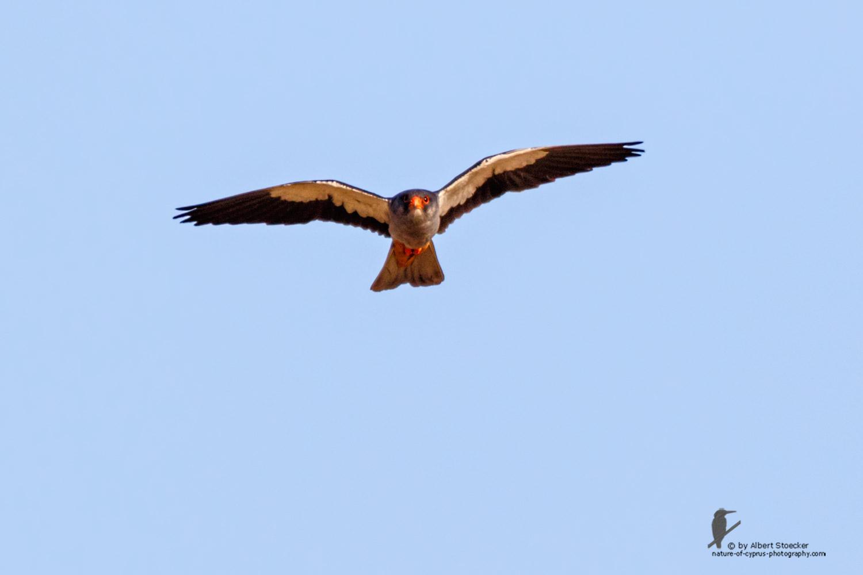 Falco amurensis - Amur falcon - Amurfalke, Cyprus, Agia Varvara - Anarita, Paphos, Mai 2016