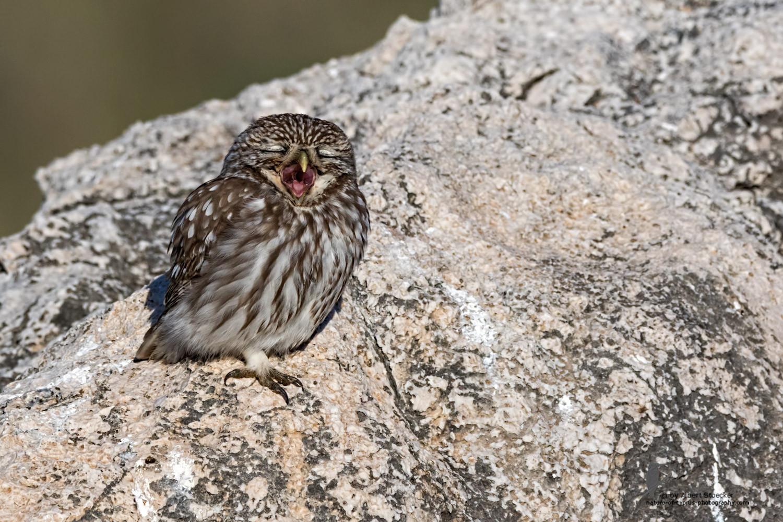 Athene noctua - Little Owl - Steinkauz, Cyprus, Anarita Park, January 2016