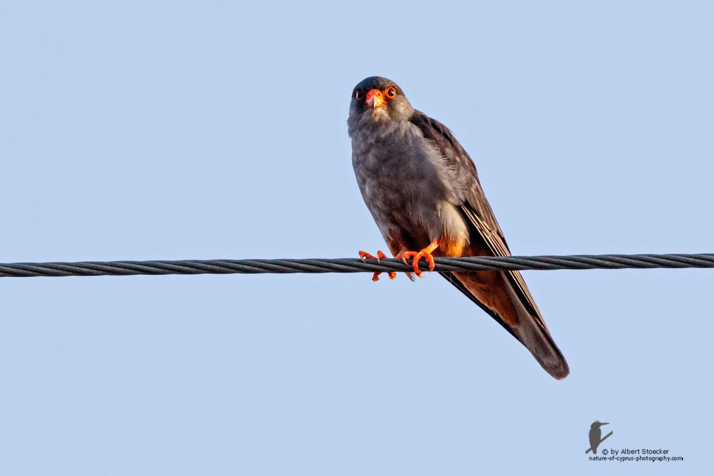 Falco amurensis - Amur falcon male - Amurfalke, Cyprus, Agia Varvara - Anarita, Paphos, Mai 2016