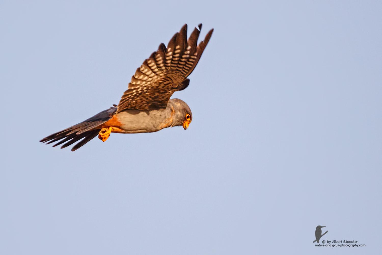 Falco vespertinus - Red-footed Falcon, male, juv, - junger Rotfußfalke, Cyprus, Agia Varvara-Anarita, Mai 2016