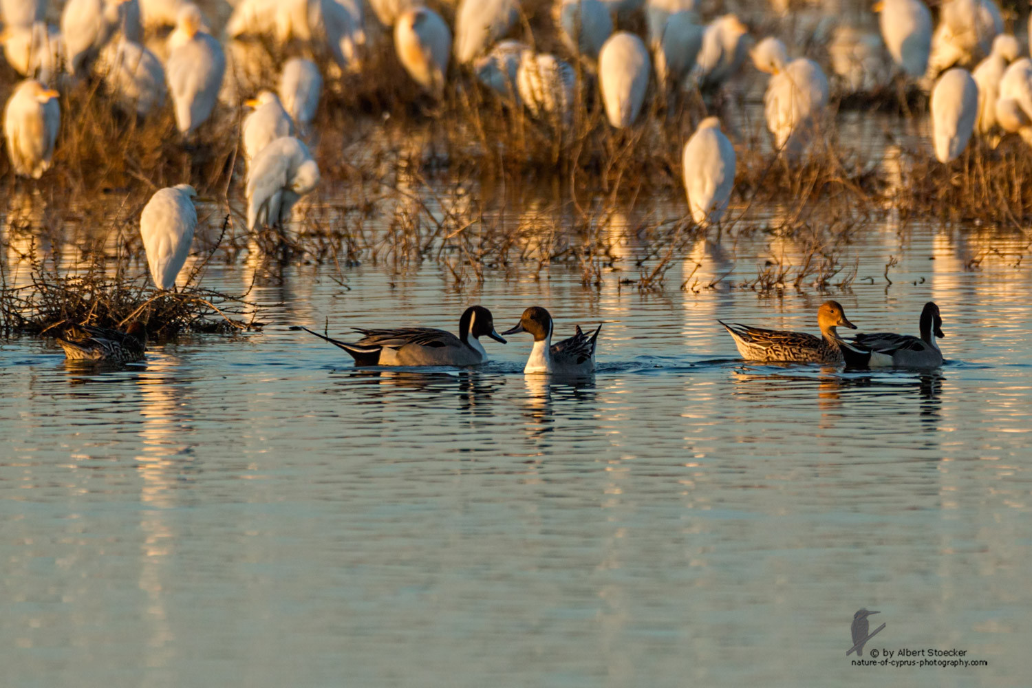 Anas acuta - Northern Pintail - Spießente, Cyprus, Oroklini Lake, January 2016