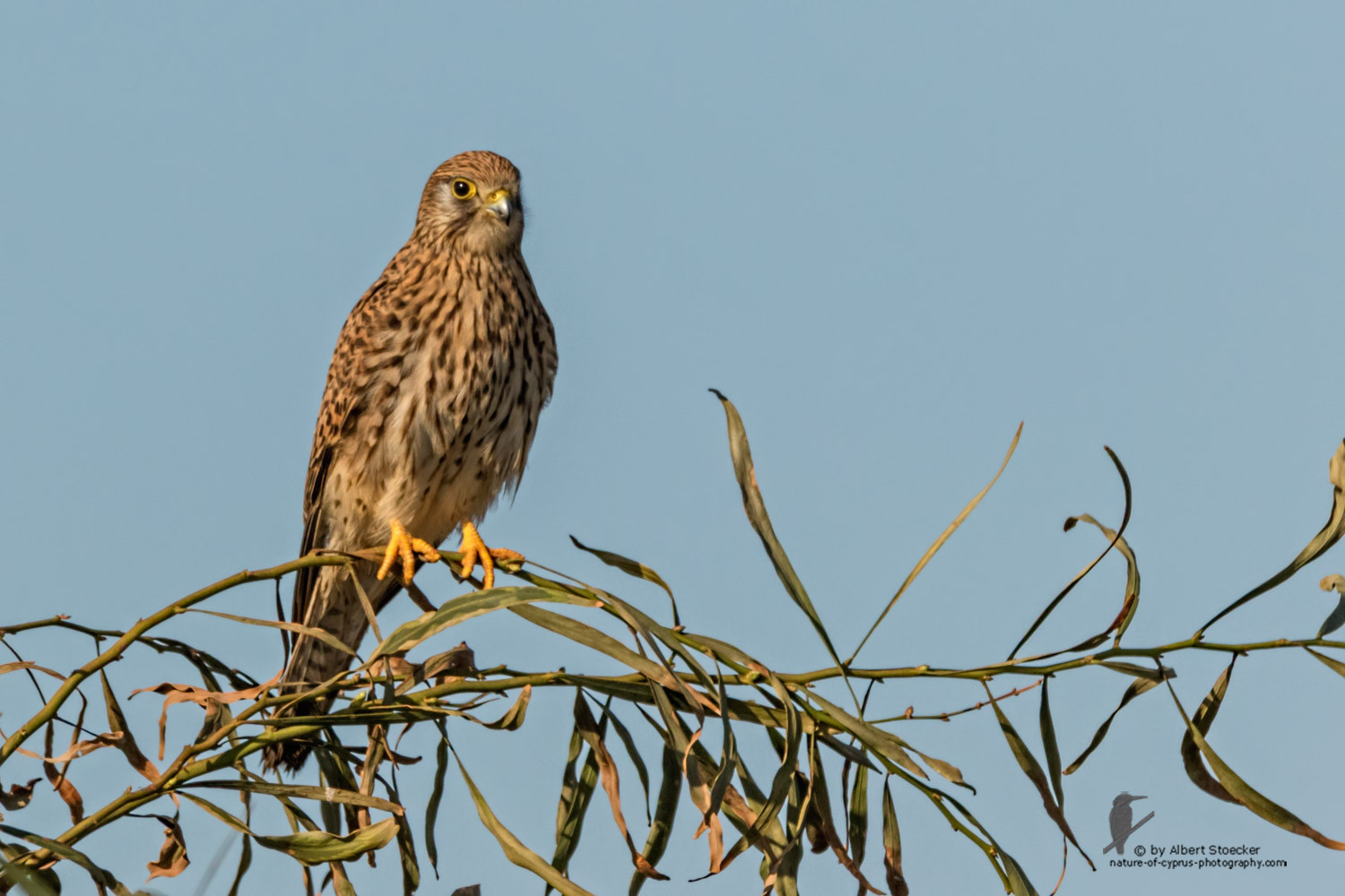 Falco tinnunculus - Common Kestrel - Turmfalke, Cyprus, Mandria Beach, January 2016