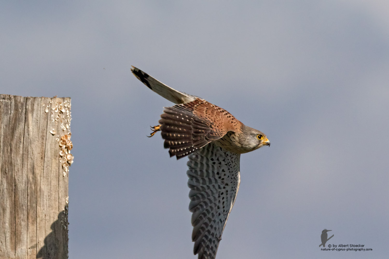 Falco tinnunculus - Common Kestrel - Turmfalke, Cyprus, Mandria Beach, January 2016