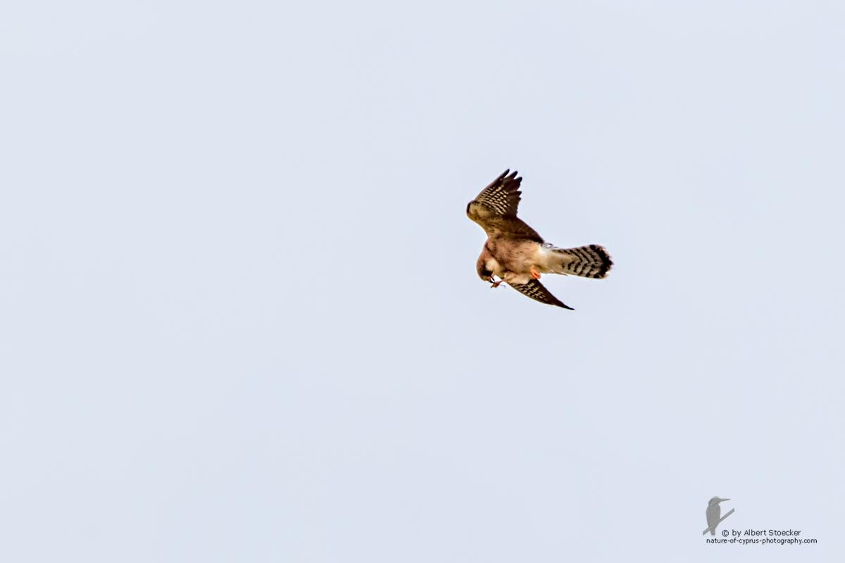 Falco vespertinus - Red-footed Falcon, female,ger Rotfußfalke, Cyprus, Agia Varvara-Anarita, Mai 2016