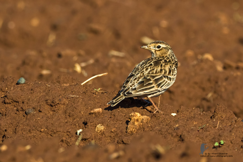 Alauda arvensis - Eurasian Skylark - Feldlerche, Cyprus, Mandria Fields, January 2016