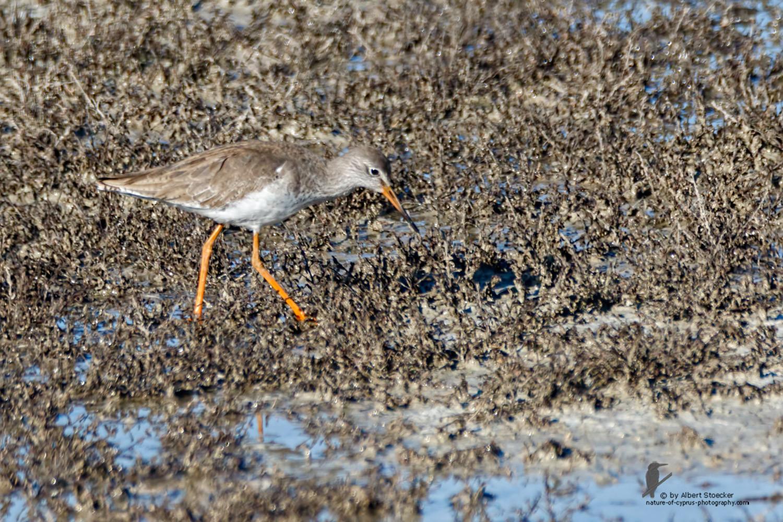 Trinka totanus - Redshank Common - Rotschenkel, Cyprus, Oroklini Lake, Februar 2016
