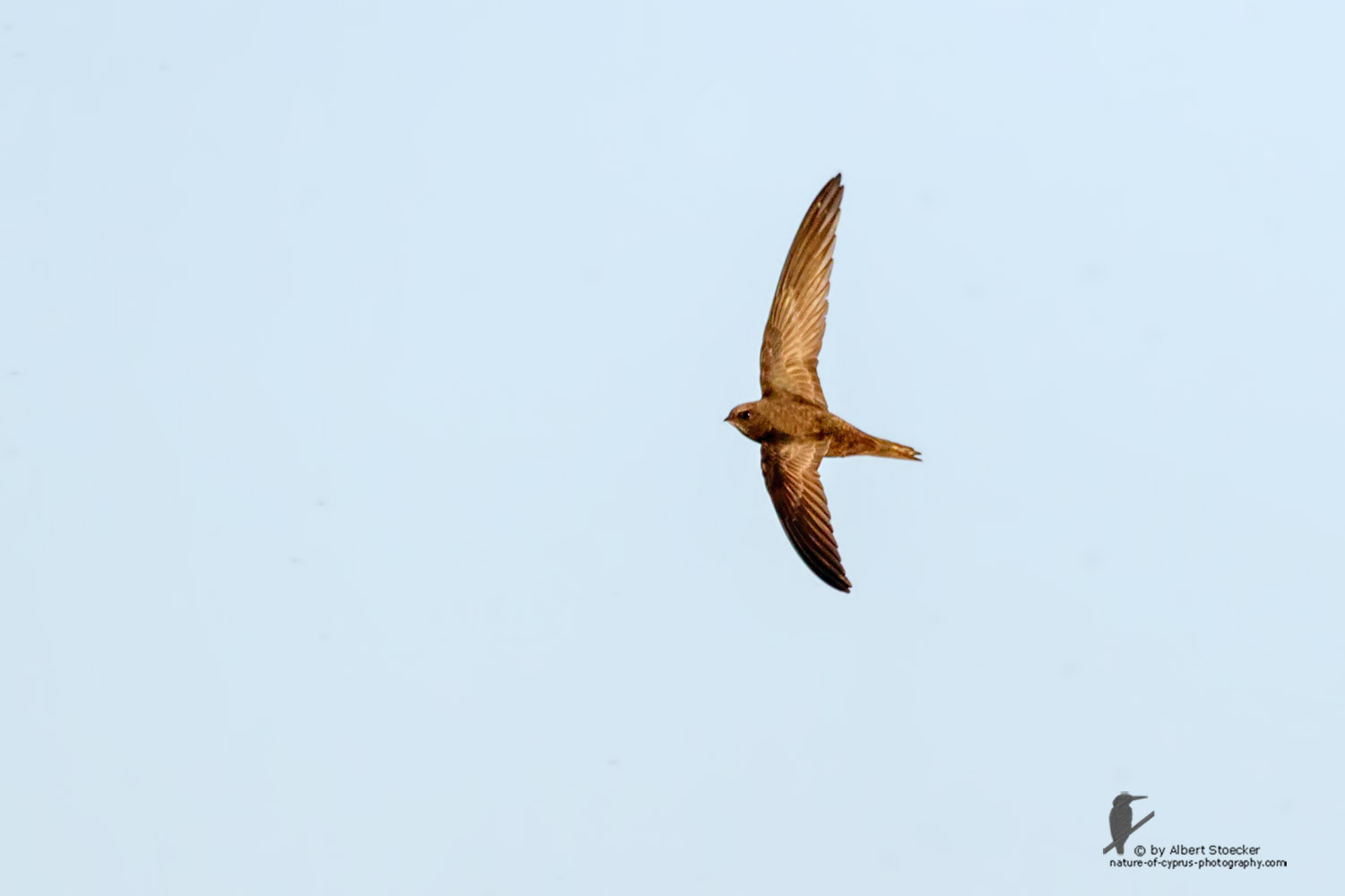 Apus apus - Common Swift - Mauersegler, Cyprus, Zakai Marsh, March 2016