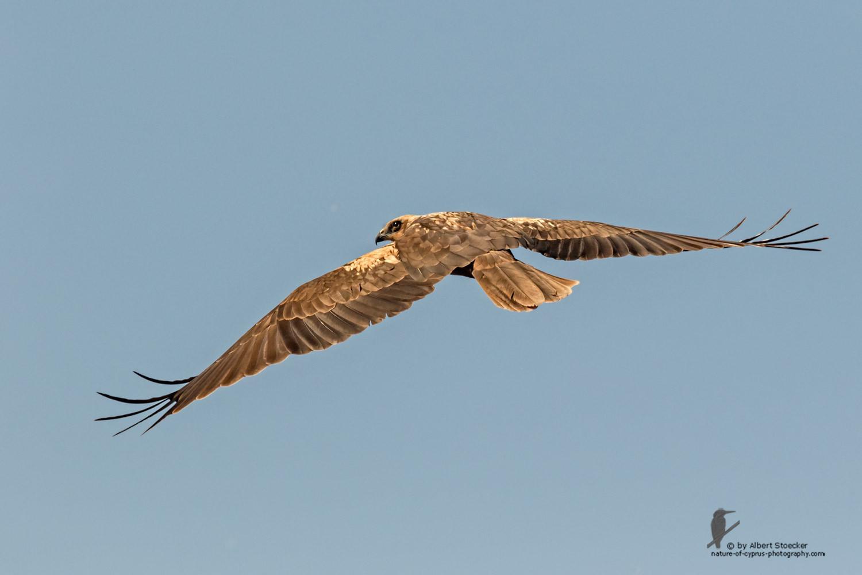 Circus aeroginosus  - Western Marsh Harrier - Rohrweihe, Cyprus, Akrotiri - Fassouri, January 2016