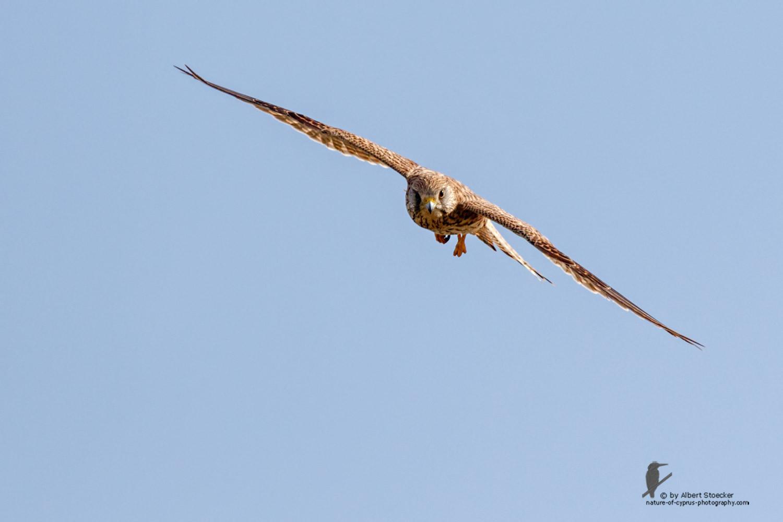 Falco tinnunculus - Common Kestrel - Turmfalke, Cyprus, Mandria Beach, March 2016