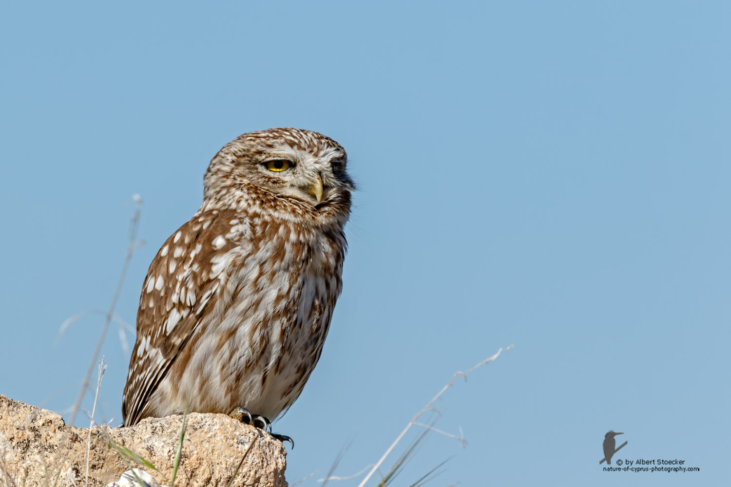 Athene noctua - Little Owl - Steinkauz, Cyprus, Anarita, March 2016