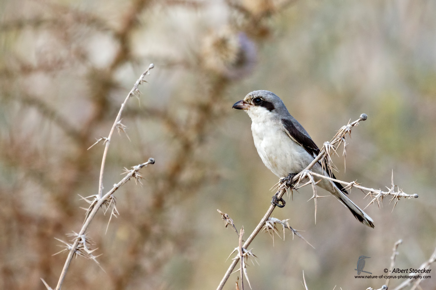 Lanius minor - Lesser Grey Shrike - Scharzstirnwuerger, Cyprus, Agia Varvara, September 2016