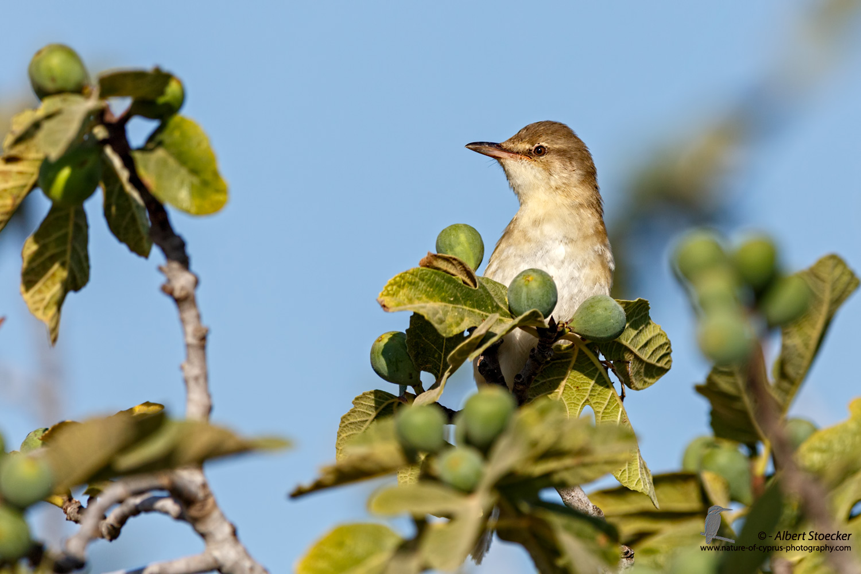 Iduna pallida - Eastern Olivaceous Warbler - Blassspötter, Cyprus, Mandria Fields, August 2016