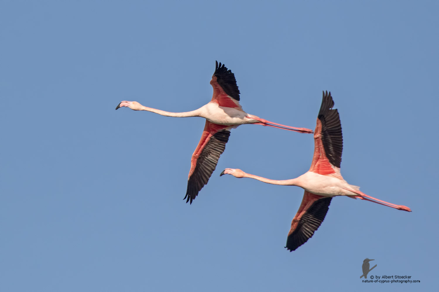 Phoenicopterus ruber - Greater Flamingo - Rosaflamingo, Cyprus, Larnaca Spiros Pool, January 2016