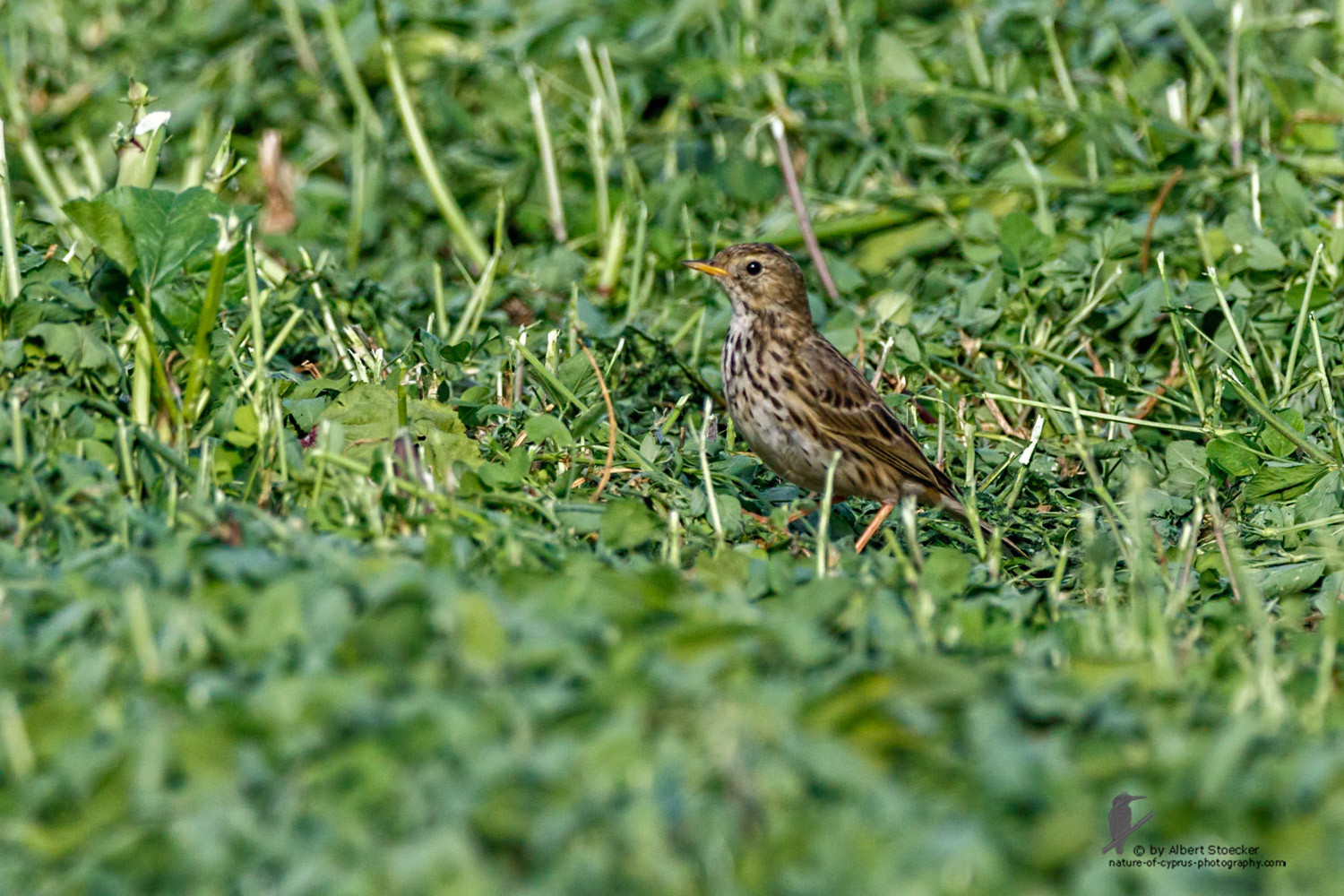 Anthus pratensis - Meadow pipit - Wiesenpiper, Cyprus, Mandria, March 2016