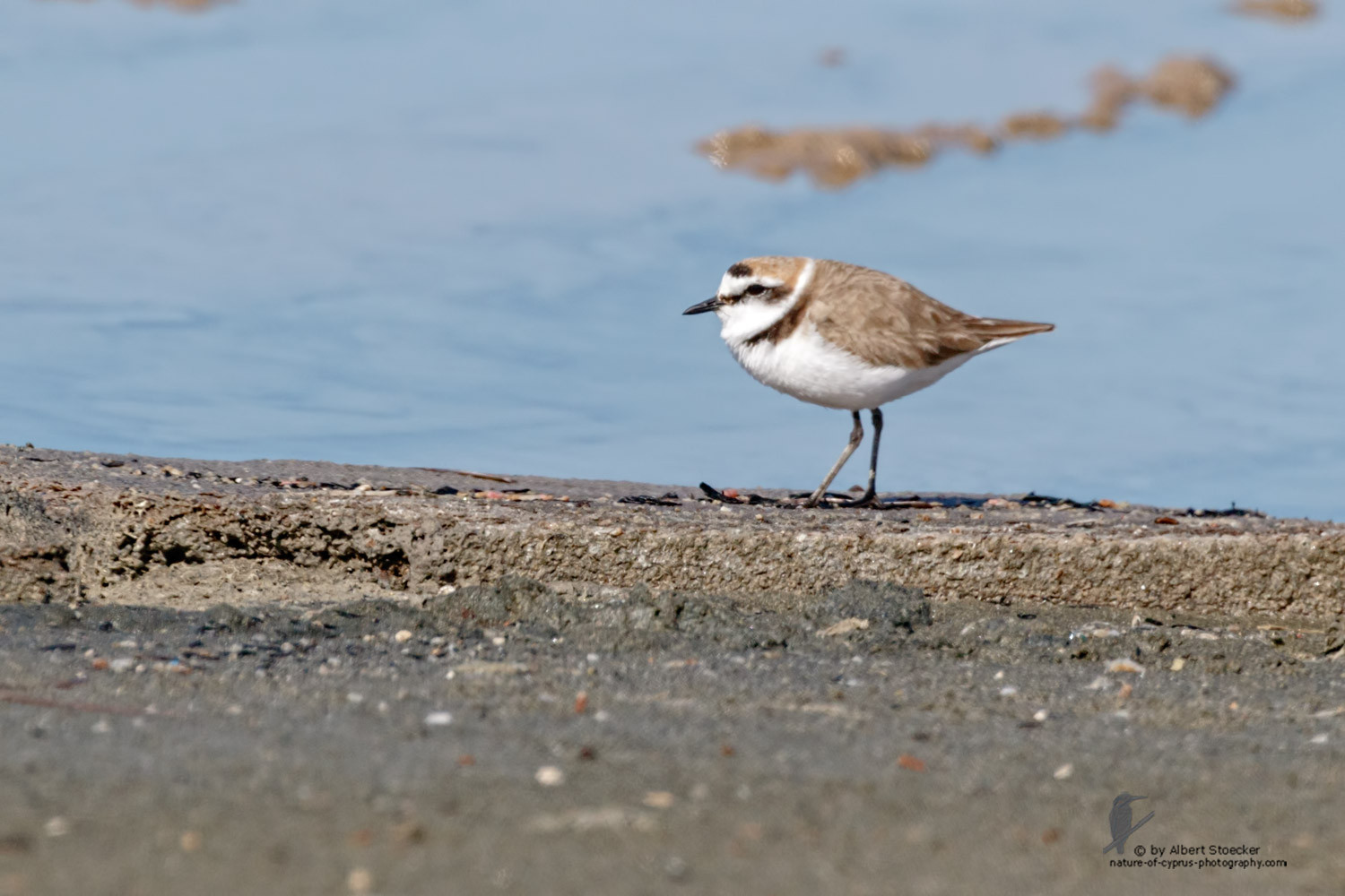 Charadrius bubius - Little Ringed Plover - Flussregenpfeifer, Cyprus, Zakai Marsh, March 2016