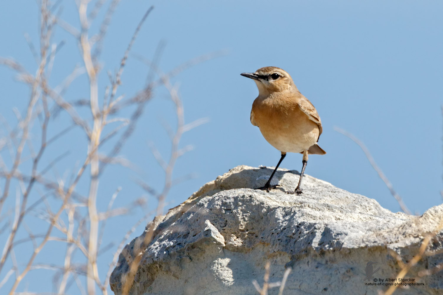 Oenanthe isabellina - Isabelline Wheatear - Isabellsteinschmätzer, Cyprus, Akrotiri, Ladys Miles, March 2016