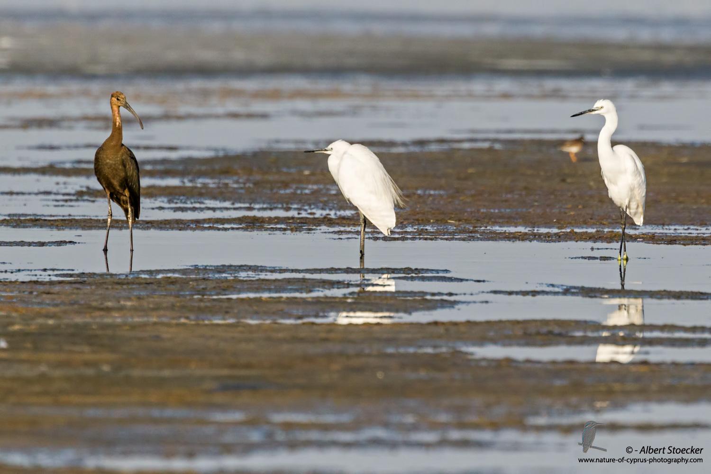 Seidenreiher, Little Egret, Egretta Garzetta + Brauner Sichler, Glossy Ibis, Plegadis falcinellus, Cyprus, Akrotiri Salt Lake, September 2017