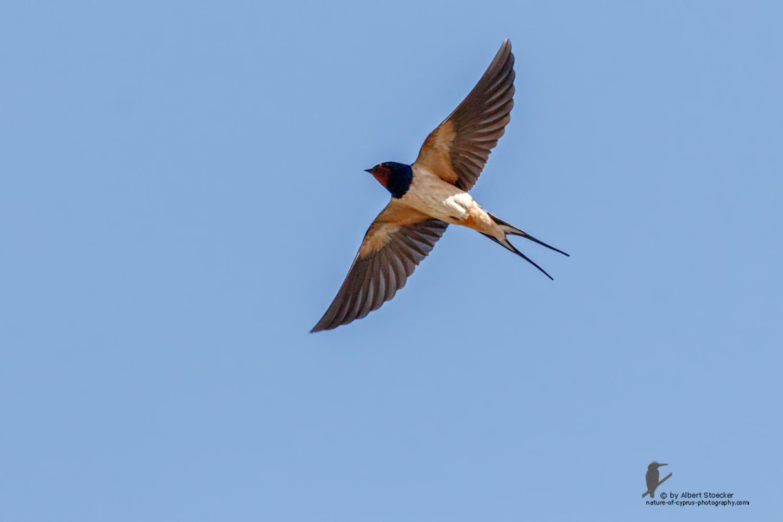 Hirundo rustica - Barn Swallow - Rauchschwalben, Cyprus, Oroklini Lake, Februar 2016