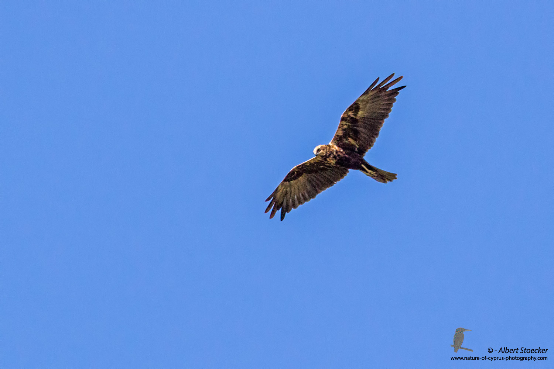 Rohrweihe, Western Marsh Harrier, Circus aeroginosus, Cyprus, Akrotiri - Gravel Pit, September 2017