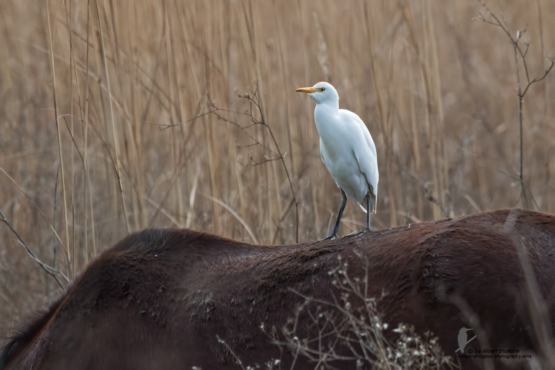 Bubulcus ibis - Cattle Egret - Kuhreiher, Cyprus, Akrotiri - Fassouri, January 2016