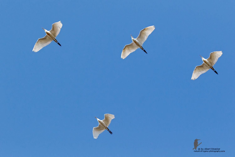 Bubulcus ibis - Cattle Egret - Kuhreiher, Cyprus, Oroklini Lake, Februar 2016