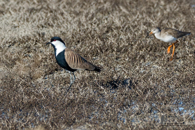 Vanellus spinosus - Spur-winged Lapwing - Spornkiebitz, Cyprus, Oroklini Lake, Februar 2016