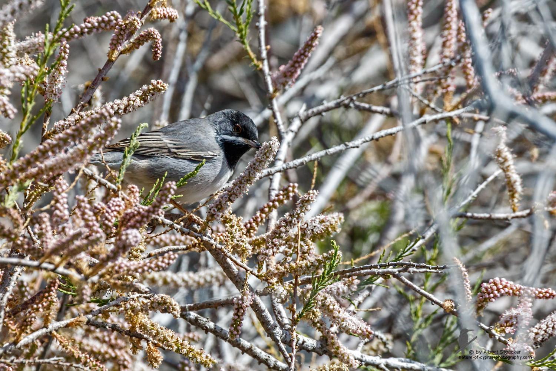 Sylvia ruepelli - Rüppell´s Warbler - Maskengrasmücke, Cyprus, Zakai Marsh, March 2016