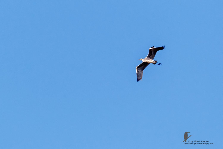 Ardea einetra - Grey Heron fly in - Graureiher, Cyprus, Oroklini Lake, Februar 2016