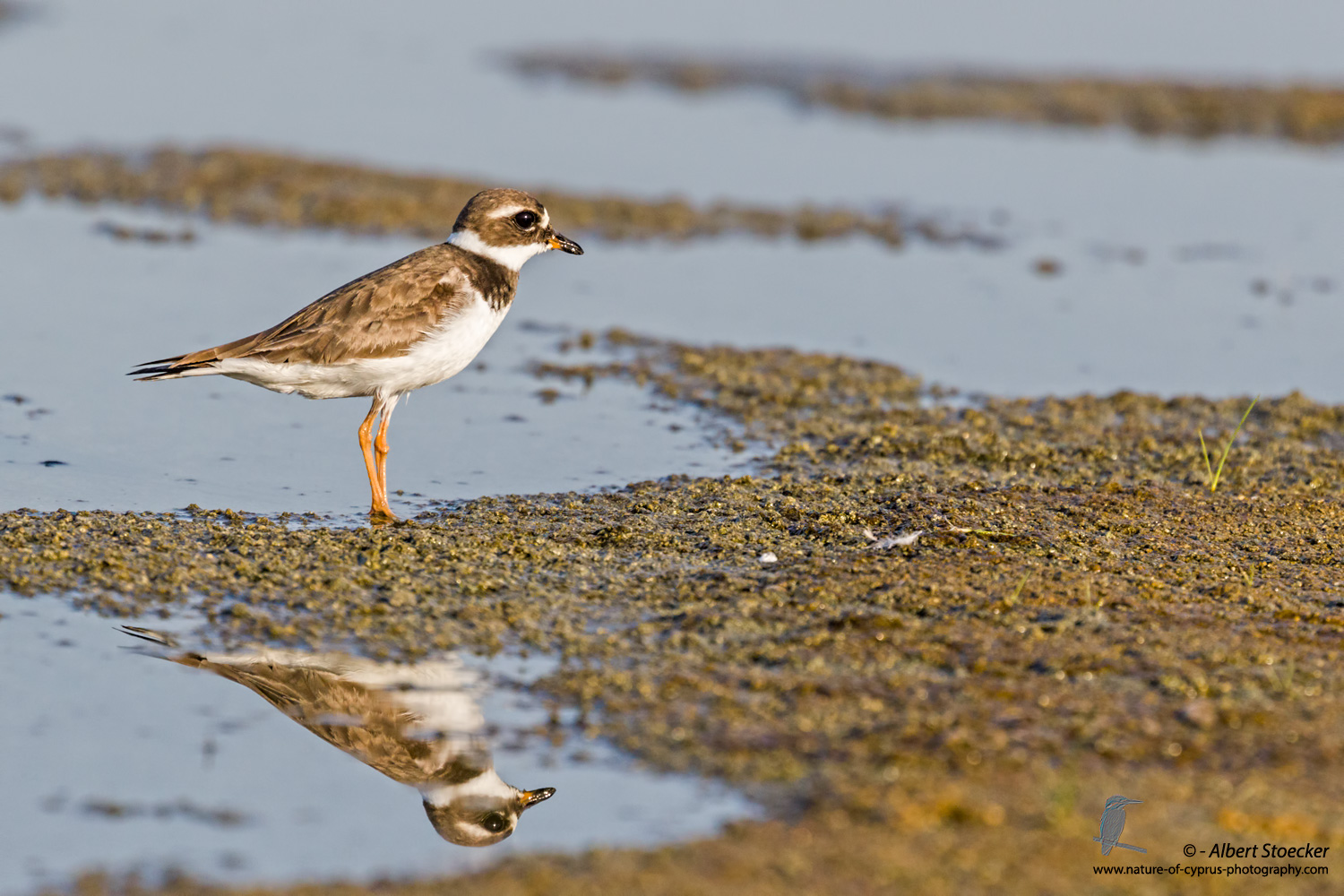 Sandregenpfeiffer, Common Ringed Plover, Charadrius hiaticula, Cyprus, Akrotiri Salt Lake, September 2017