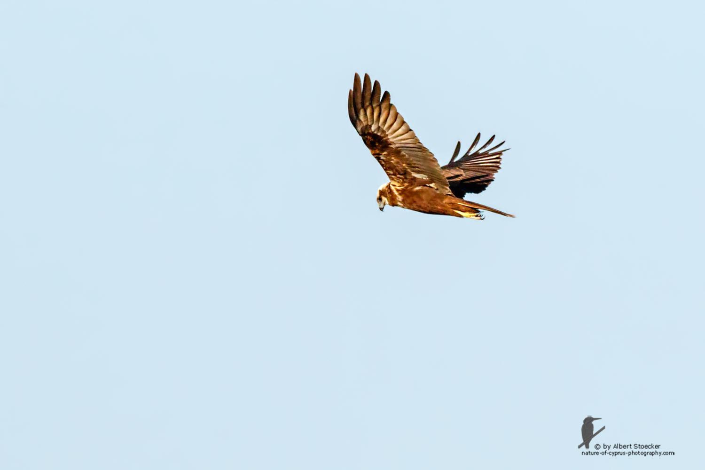 Circus aeroginosus  - Western Marsh Harrier - Rohrweihe, Cyprus, Zakai Marsh, March 2016