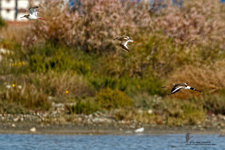 Limosa limosa - Black-tailed Godwit - Uferschnepfe, Cyprus, Zakai Marsh, March 2016