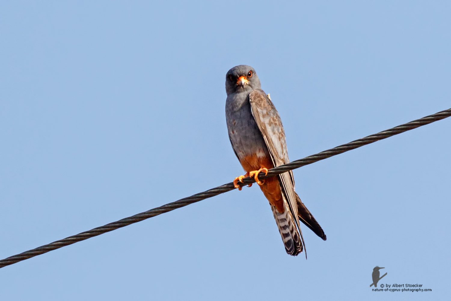 Falco vespertinus - Red-footed Falcon, male, juv, - junger Rotfußfalke, Cyprus, Agia Varvara-Anarita, Mai 2016