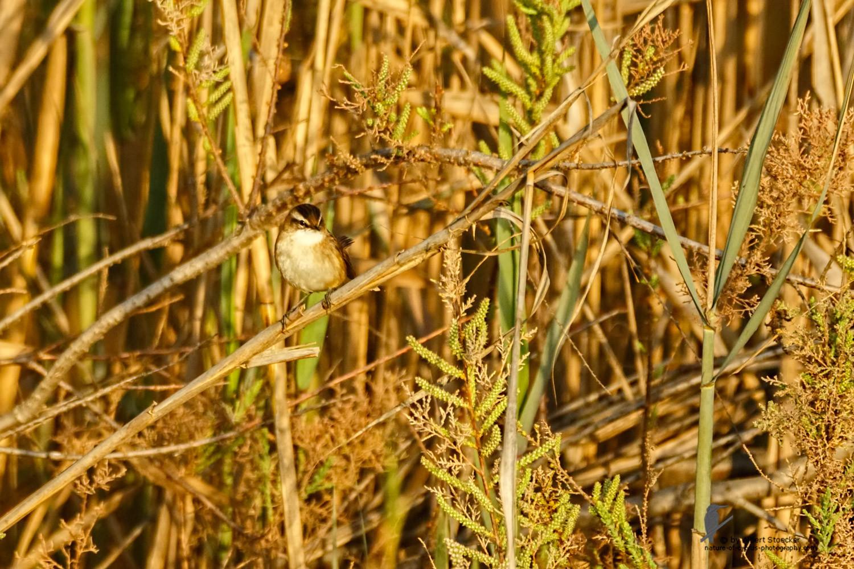 Acrocephalus melanopogon - Moustached Warbler - Mariskenrohrsänger, Cyprus, Oroklini Lake, Februar 2016