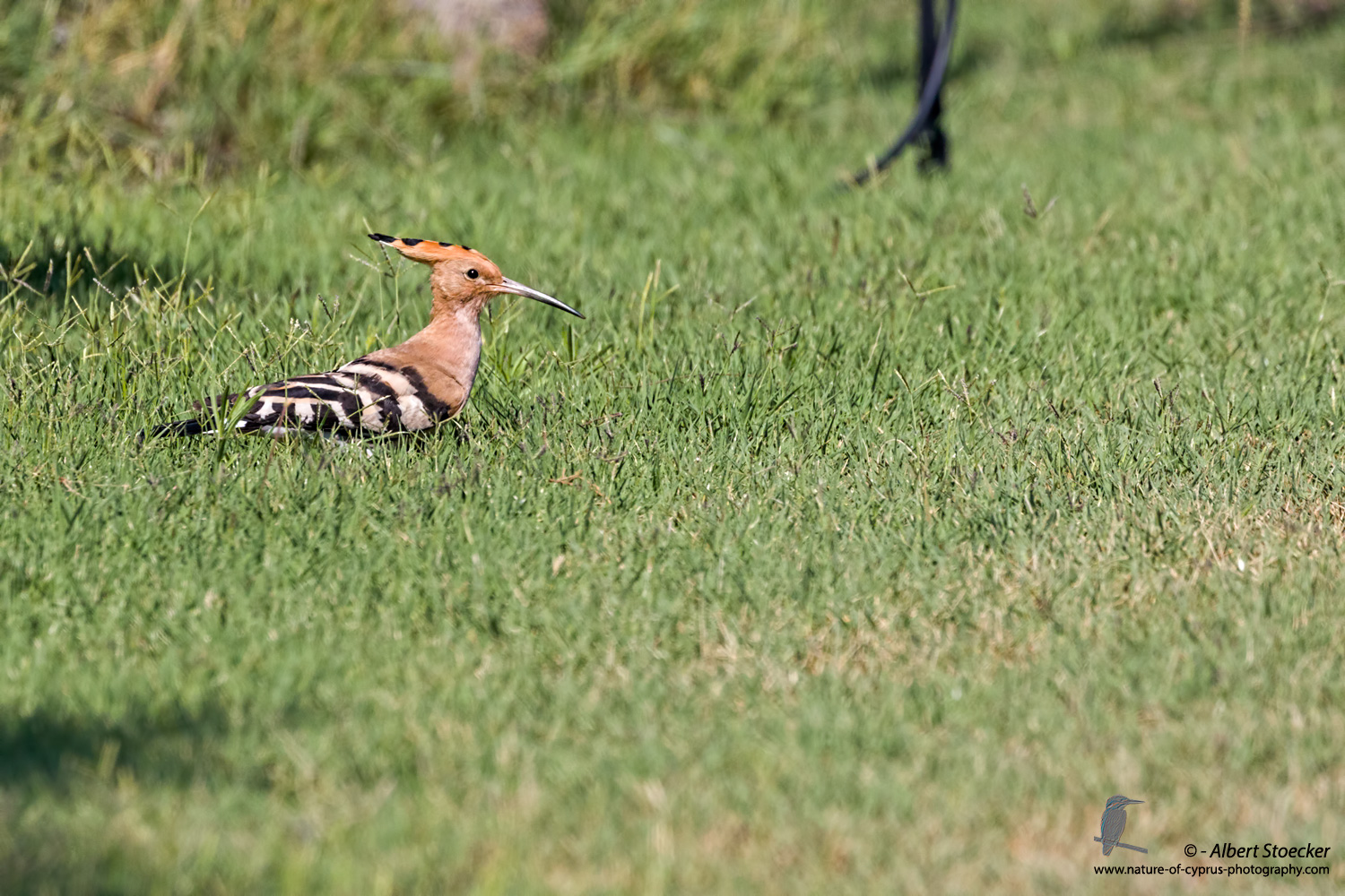 Wiedehopf, Hoopoe, Upupa epops, Cyprus, Akrotiri - Agios Georgios Church, September 2017