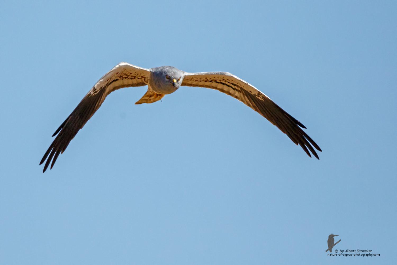 Circus macrourus - Montagu`s Harrier (male) - Wiesenweihe, Cyprus, Anarita - Ayia Varvara, April 2016