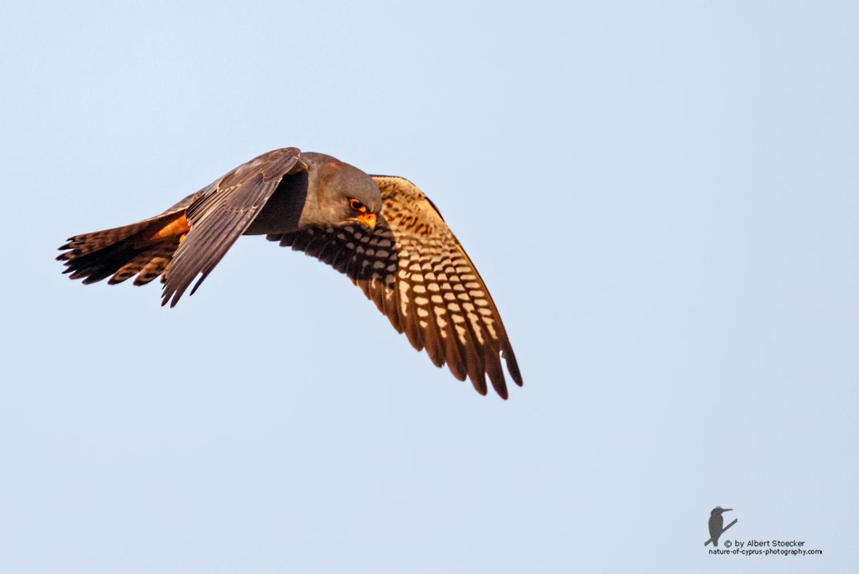 Falco vespertinus - Red-footed Falcon, male, Rotfußfalke, Cyprus, Agia Varvara-Anarita, Mai 2016