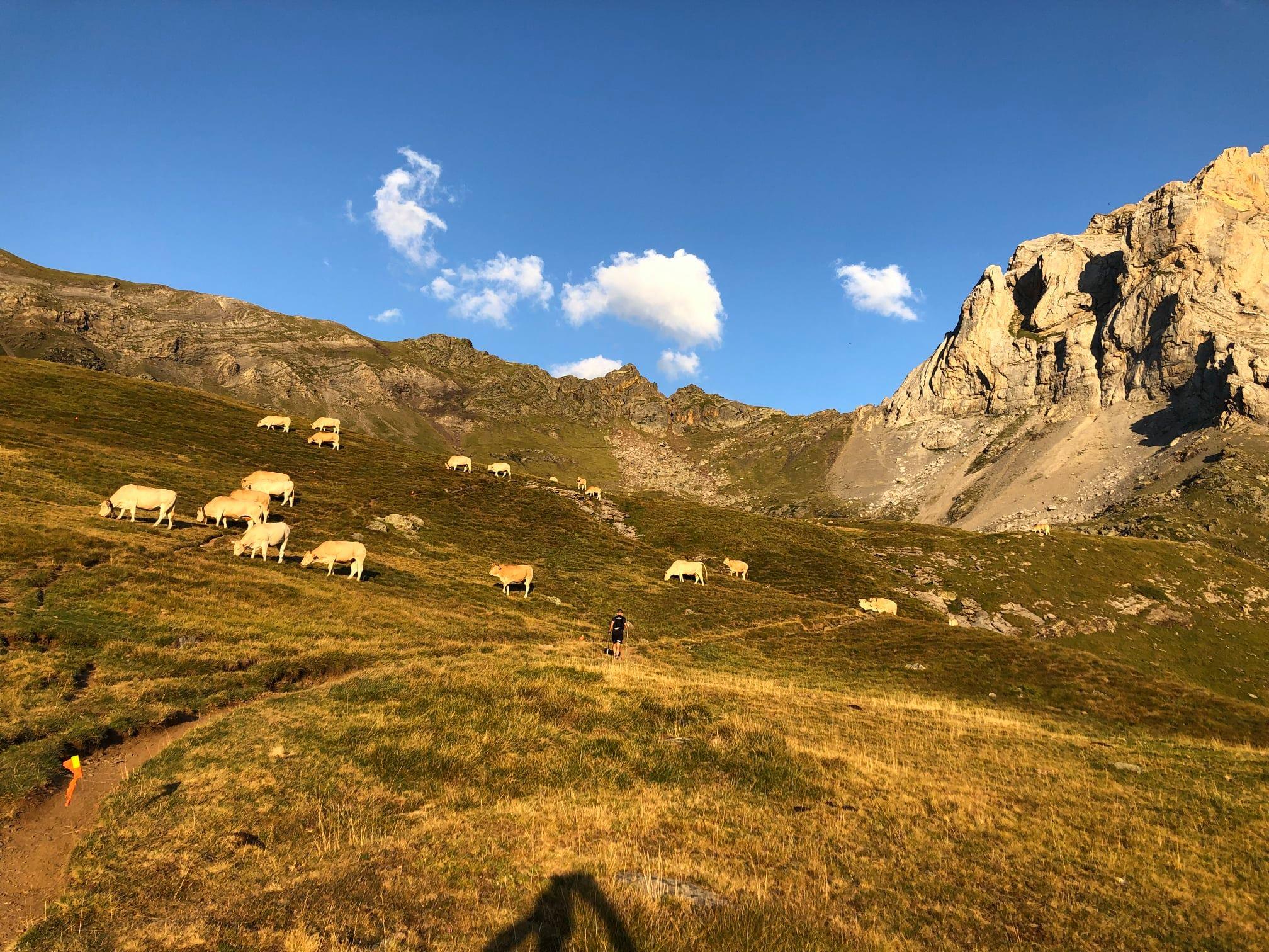 16-Un Taureau entouré de vaches
