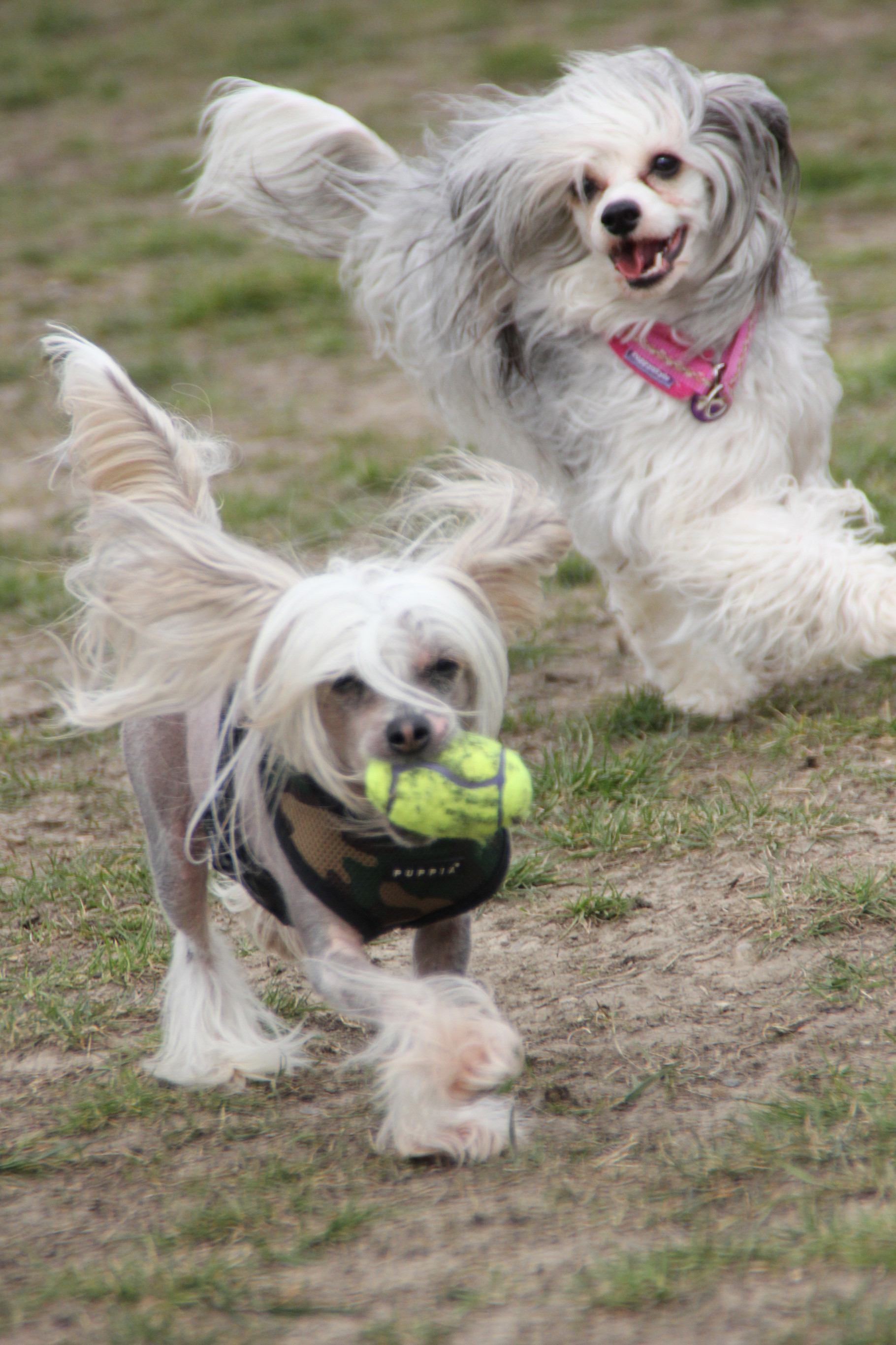 The Chinese Crested Club Of Great Britain Rescue Chinese