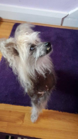 Rehomed - Chinese Crested Club of GB Rescue