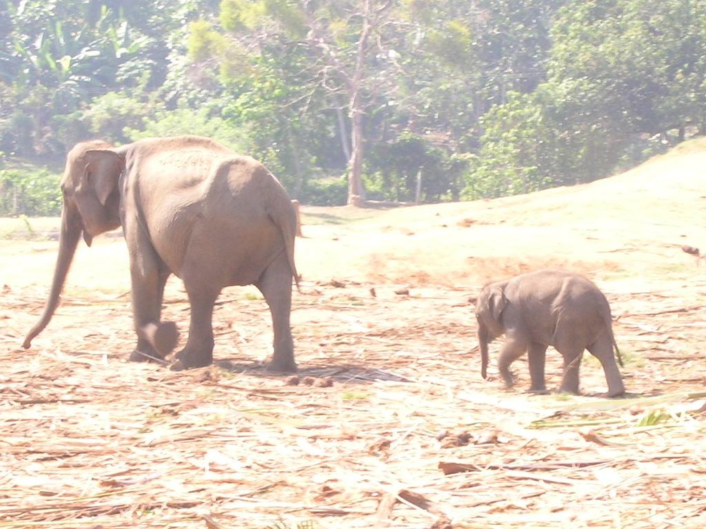 Pinnawela Elefanten-Waisenhaus