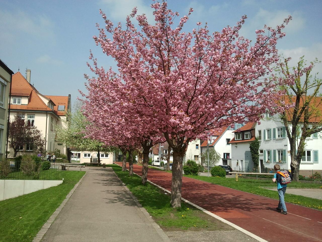 Schulgelände mit Tartanbahn und Kirschbäumen