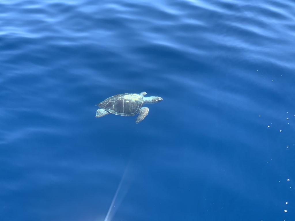 Schildkröte im Mittelmeer: die unechte Karettschildkröte
